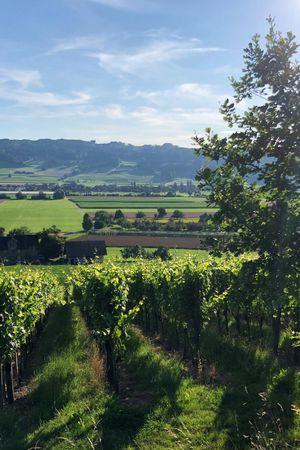 Weinbaugenossenschaft Saffergarten, Altwis